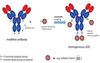 Image: In order to overcome the known limitations inherent to chemical conjugation of small molecule toxic drugs to antibodies, NBE-Therapeutics has developed a patent-pending technology for the specific enzymatic conjugation of drugs to antibodies (Photo courtesy of NBE-Therapeutics).